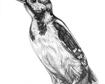 Woodpecker Pencil Drawing original - 81