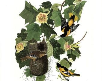 Baltimore Oriole, Audubon Birds of America