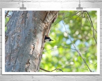 Birder Gift, Woodpecker Bird Photo, Gift for Bird Lover, Arizona Birds, Bird Photography, Forest Birds, Bird Art Print, Madera Canyon Birds