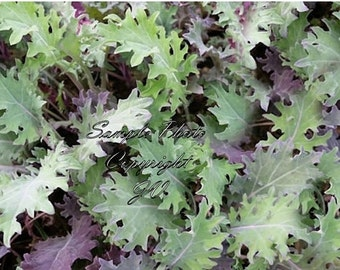 250 Seeds Red Russian Kale Seeds Natural Non GMO Flavorful and Colorful Vegetable Garden Heirloom