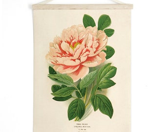 Pull Down Chart - Peony Flower Vintage Botanical Reproduction Print. Educational Diagram Botany Garden Rose Poster - CP205CV