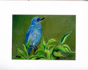 Hübsche Mountain Bluebird