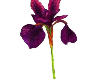 """Purple Iris art print of a drawing available 5x7"""" or 8x10"""""""