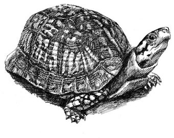 A Turtle 11x8.5 pen drawing print  from original,  holiday present / birthday present or various card