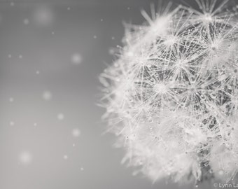 "Dandelion Photography -- black and white wall decor 8x10 11x14 fine art photography nature winter art botanical dandelion art ""Cloud Puff II"