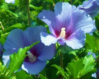 3 Unrooted 8-12 inch tall Live Blue Hibiscus aka Rose of Sharon Plants, Beautiful Blooms, Perennial