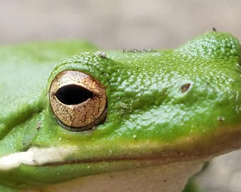 Tree Frog Closeup