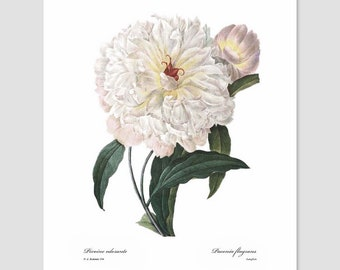 Peony Art, White Flower Print (Shabby Chic Nursery, White Wall Decor, Antique Artist Botanical, French Bedroom, Country Loft) Pierre Redoute