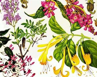 Jasmine Persian Lilac Flower Himalayan Botanical Exotica Vintage Illustration To Frame 95