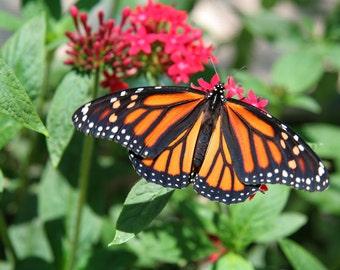 Butterfly on Flower 17, Child's Photo, 5x7 Photo, 8x10 photo, 11x14 Flower, Child's Decor