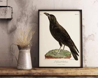 Old vintage illustration of the Raven, Corvus corax, also known as the Northern Raven - Bird wall decor poster