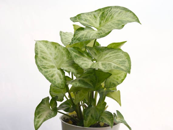 RARE White Butterfly Plant, Easy House Plant, Indoor Plants, Hanging ...