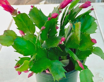 Christmas Cactus Plant, Seedling plant, Red Yellow Pink White Flowers, A Perfect Indoor Houseplant, Home Decor, Gift For Her, A Gift