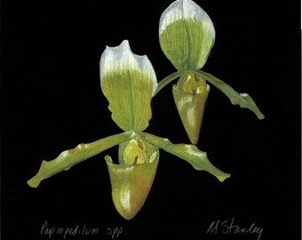 Original pastel drawing of a Paphiopedilum yellow orchid