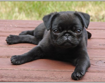 4 Dog Puppy Black Pug dogs puppies relaxing Greeting Notecards/ Envelopes Set