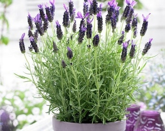 Lavender Sancho Panza Flower Seeds (Lavandula Stoechas Sancho Panza) 15+Seeds