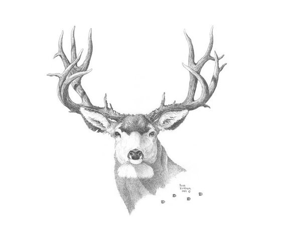MULE DEER Pencil Drawing