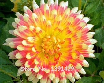 Dahlia Bulbs, (not Dahlia Seeds), Holland Dahlia Flower 3 Bulbs (item No: 14)