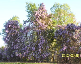"1  Wisteria Trees(Wisteria Sinensis)4"" container"