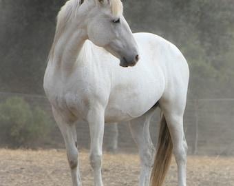 White Mare - Wild Mustang