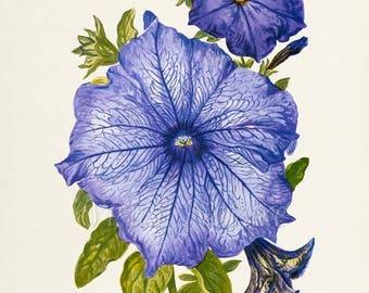 Petunia Flower Art Print, Petunia Botanical Art Print, Flower Wall Art Print, Floral, Home Decor, purple