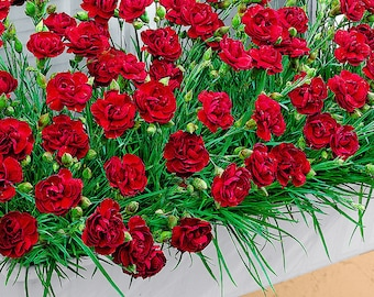 Live Plants-TRAILING CARNATIONS-Winter Hardy, Indoor or outdoor 10 for 32.50 free shipping