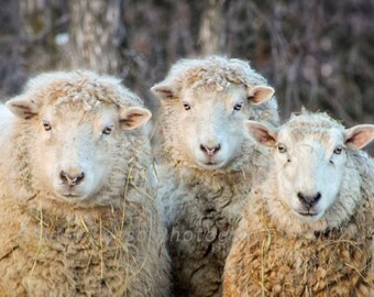 Ewes, Sheep, winter, photography, fine art, wall decor, fleece, wool, humorous, country