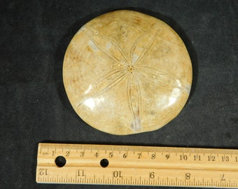 A BIG! Very Well Defined Polished SEA URCHIN Fossil From Madagascar 243gr