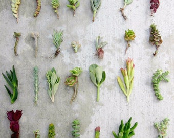 """28 Separate Variety Succulent Cuttings, 3""""-6"""", Free Shipping Organic Succulents Bulk Succulents Succulent Starters Live Succulents Clippings"""