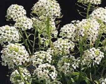 AAL)~MARITIMUM TALL Sweet Alyssum~Seed!!~~~~~~~~~~~~Fragrant Taller Variety!