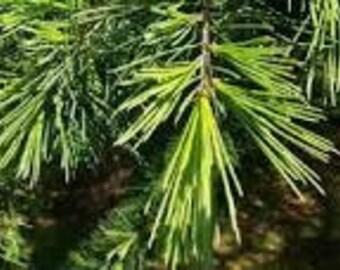 Cedarwood Essential Oil, Juniperus virginiana, Pure Cedarwood ,Essential Oil, Respiratory Relief, Sinus Relief, Hair Loss Oil,