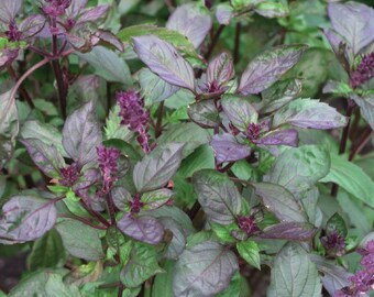 Basil Herb Plant, Aromato Bi-Color Organic