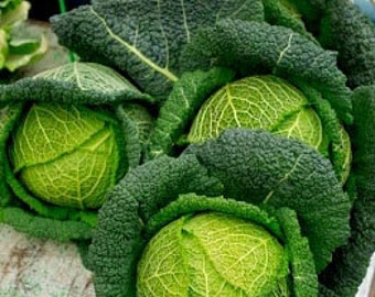 Organic Perfection Savoy Cabbage Heirloom Vegetable Seeds