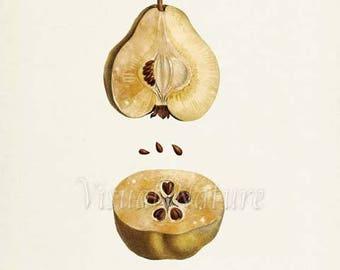 Pear Botanical Print, Pear Art Print, Pear Wall Art, Pear Seeds Fruit Art, Fruit Print, Kitchen Art, Garden, Redoute Art, Poire