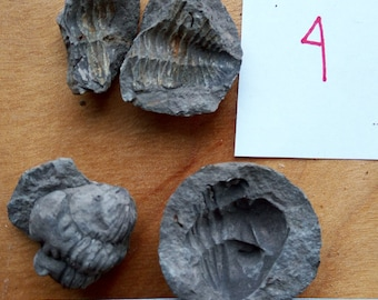 Trilobite Fossil #4