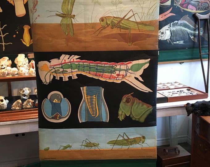 Charter anatomical German vintage biological, grasshopper, Jung-Koch-Quentell 1960