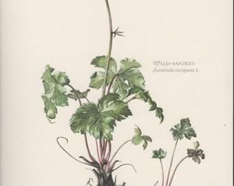 1955 Wood Sanicle, Botanical Print, Vintage Lithograph, Sanicola europaea, Wald-Sanikel, Botany, Antique Print, Flowers Illustration