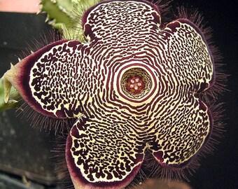 Edithcolea grandis (Kenia) / 5 seeds (Persian Carpet Flower)