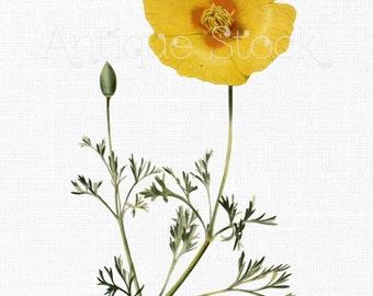 Yellow Poppy Flower Image - Californian Poppy Digital Graphic for Card Making, Prints, Decor, Altered Art, Decoupage, Scrapbook, Invites...