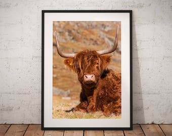 Wildlife photo of a Highland Cow in the Scottish Highlands, cute, lady, horn, nature, Scotland