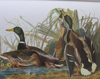 Audubon's Birds of America, MALLARD, Unframed Print, Color Plate, Book Page, Book Plate