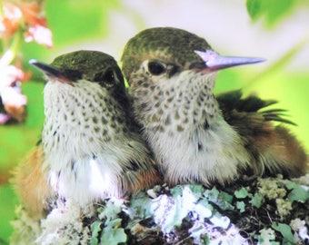 Humbies -  Hummingbird Babies Prints, Giclees, ThinWraps and Greeting Cards