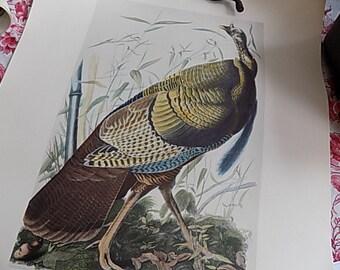 Antique Print Lithograph - Wild Turkey