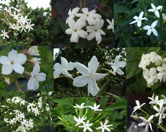 3 Jasmines with white blossom-potted garden plant