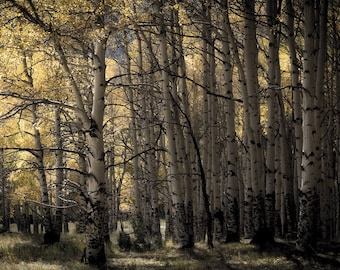 Aspen trees fall, Colorado art, fall tree photo, cabin decor, rustic home decor, yellow aspen leaves art, muted pastel wood | Late Afternoon