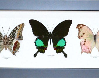 Trio of large butterflies in gorgeous colors in panoramic format