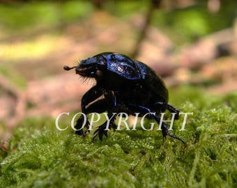 Dung beetle that seems to find his way. macro photo.