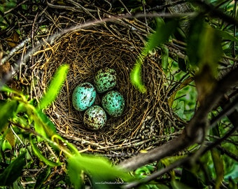 Bird Nest with Eggs Fine Art Print or Canvas Wrap, Mockingbird Nest Photograph, Nature Photography, Farmhouse Wall Decor, Rustic Decor