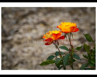 Nature photography- rose