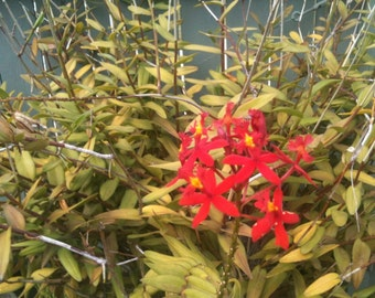 Red Orchids  Easy Care Epidendrum radicans, Red Flowers Orchid Species  3 Cuttings Mother's Day Special